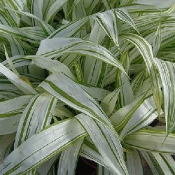 CAREX siderosticha 'Shiro'