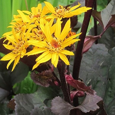 LIGULARIA dent. 'Dark Beauty'