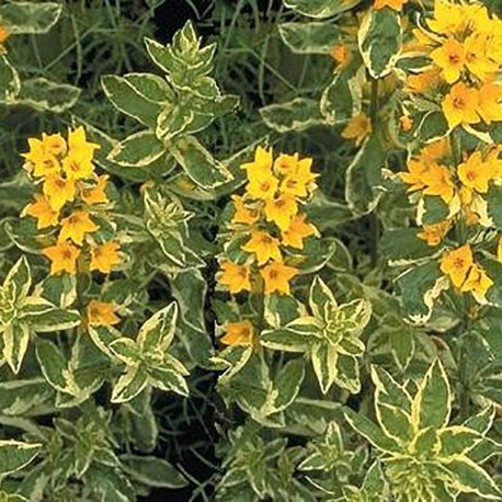 LYSIMACHIA pu. 'Golden Alexander'