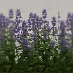 NEPETA gr. 'Summer Magic'®