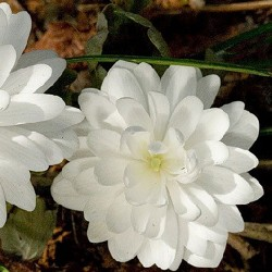 SANGUINARIA can. 'Flore Pleno'