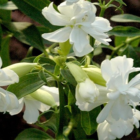 SAPONARIA of. 'Betty Arnold'