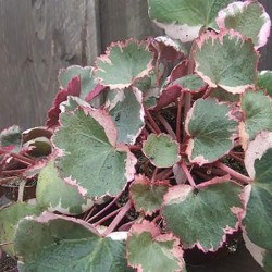 SAXIFRAGA st. 'Tricolor'