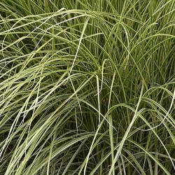 MISCANTHUS s. 'Morning Light'