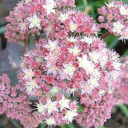 SEDUM 'Strawberries and Cream'