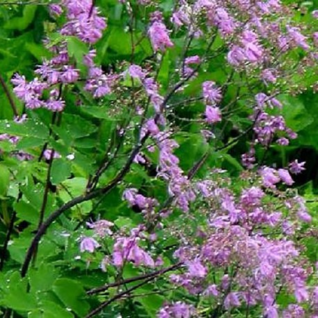 THALICTRUM 'Black Stockings'(x)