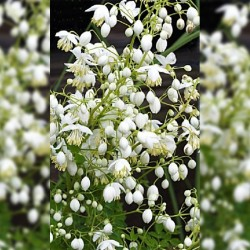 THALICTRUM d. 'Splendide White'