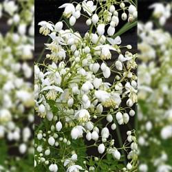 THALICTRUM d. 'Splendide White'