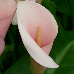 ZANTEDESCHIA aet. 'Flamingo'