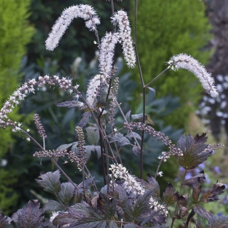 ACTAEA 'Queen of Sheba' ®
