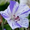 GERANIUM pratense 'Delf Blue Butterfly'
