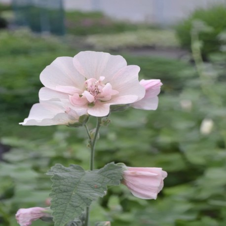 Alcalthaea suffrutescens 'Parkallee'