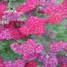 ACHILLEA Tutti Frutti 'Pomegranate' ®