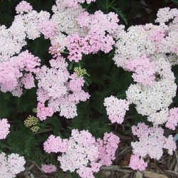ACHILLEA Tutti Frutti 'Wonderful Wampee' ®