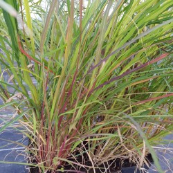 MISCANTHUS sinensis 'Little Miss'®