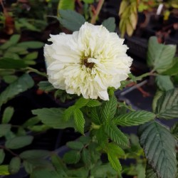 RUBUS rosifolius 'Coronarius'