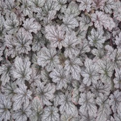 HEUCHERA 'World Caffe Corretto' ®