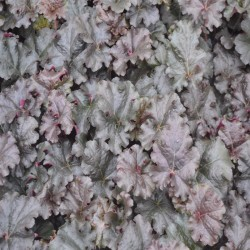 HEUCHERA 'World Caffe Expresso'®