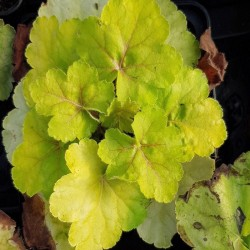 HEUCHERA 'World Caffe Romano'®