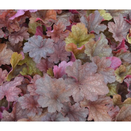 HEUCHERA 'World Caffe Americano' ®