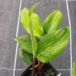 ALPINIA japonica