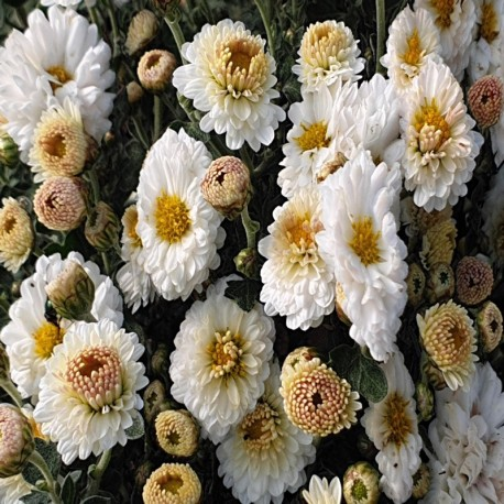 CHRYSANTHEMUM 'Julia'
