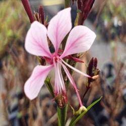 GAURA lindheimeri 'Baby Butterfly Dark Pink'
