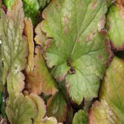 HEUCHERA 'Carnival Coffee Bean'®