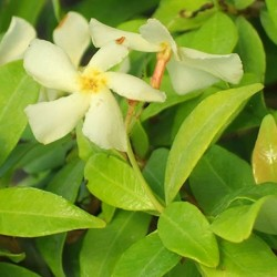 TRACHELOSPERMUM 'Golden Memories'