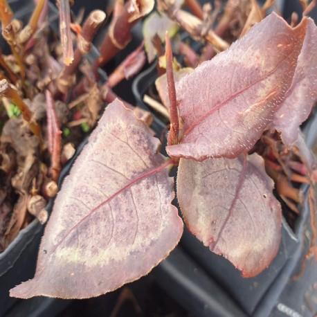 PERSICARIA microcephala 'Silver Dragon'