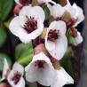 BERGENIA cordifolia 'Jelle'