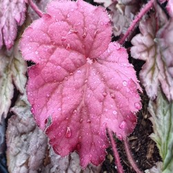 HEUCHERA ' World Caffe 'Shakerato'