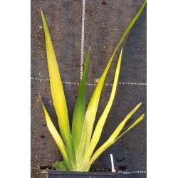 IRIS foetidissima 'Aurea'