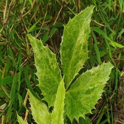 HELLEBORUS argutifolius 'Variegatus'