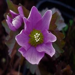 ANEMONELLA thalictroides 'Rosea'