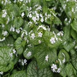 BRUNNERA macrophylla 'Mr Morse®'