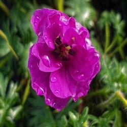 GERANIUM sanguineum 'Pink Diadem'