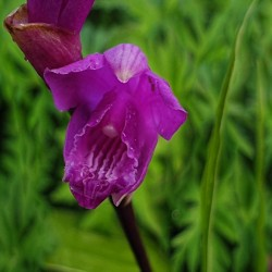 BLETILLA striata 'Purple Variegata'