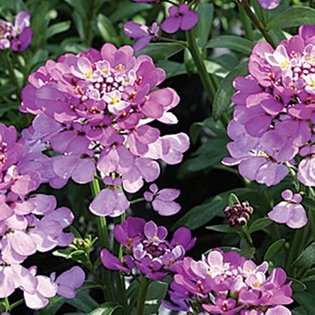 IBERIS sempervirens 'Absolutely Amethyst'