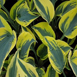 Hosta 'Autumn Frost'