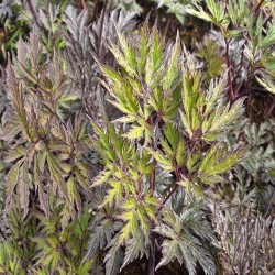ACTAEA simplex 'Carbonella'