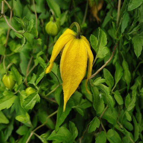 CLEMATIS 'Little Lemons'