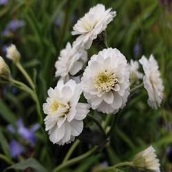 ACHILLEA ptarmica 'Noblessa' ®