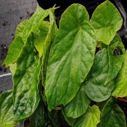 BEGONIA chitoensis
