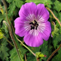 GERANIUM 'All Summer Delight'