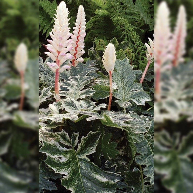 Acanthus M Whitewater