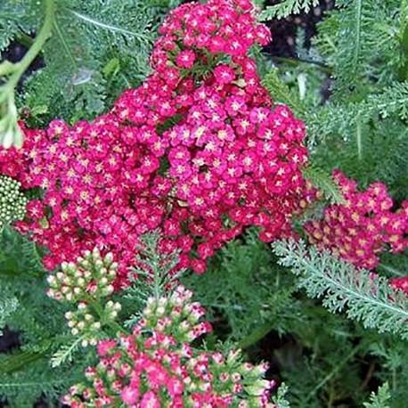 ACHILLEA millefolium 'Cherry Queen'