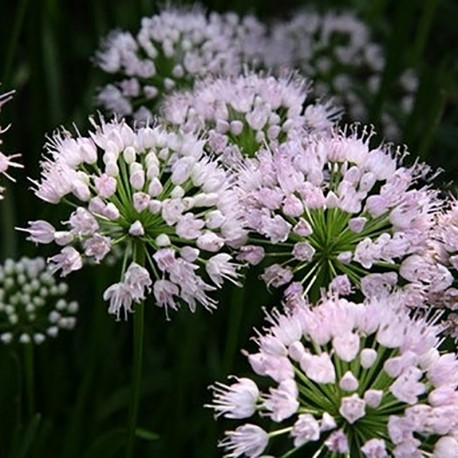 ALLIUM ang. 'Summer Beauty'