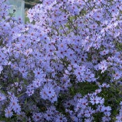 ASTER cord. 'Little Carlow'