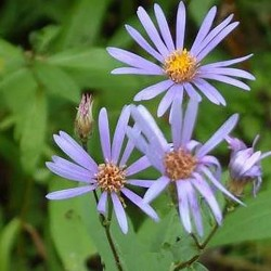 ASTER macrophyllus 'Twillight'